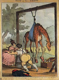 The State of the Giraffe, 1829, a caricature print by William Heath, showing George IV and Lady Conyngham trying to lift the giraffe by pulley