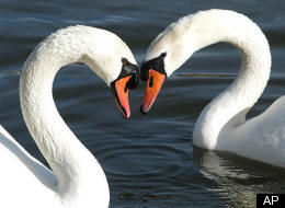 The third week in July is set aside for the annual swan count along the Thames.