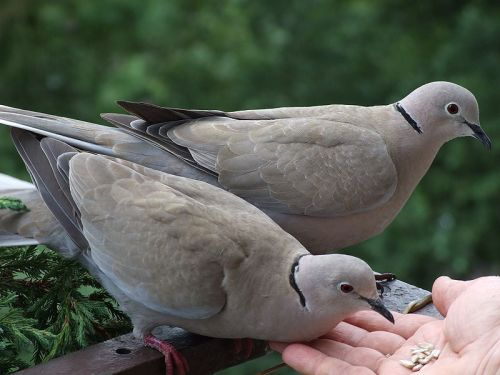 Collared Doves can be tamed in urban areas, such as these two being handfed in Poland.