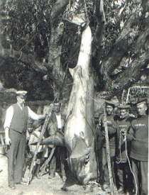 Great White Shark caught in Simon's Bay in 1922 May